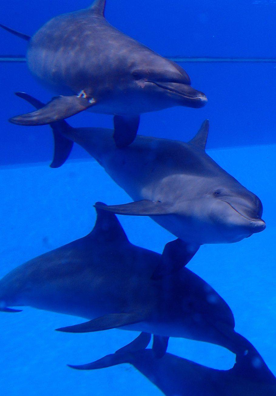 4条可爱的海豚在池里畅游