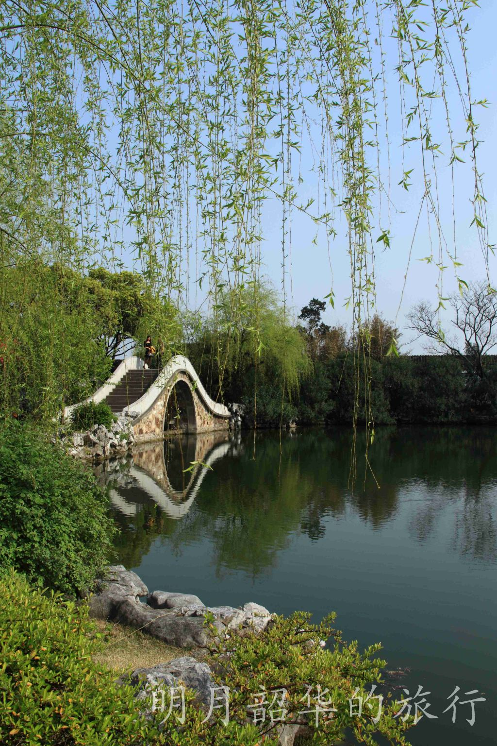 春天柳枝美景图片