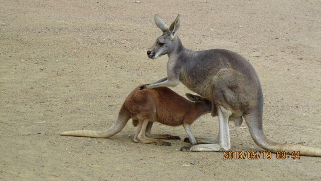 5.19 可伦宾野生动物保护园,位于黄金海岸机场附近美丽的可伦宾沙滩旁,占地面积27公顷,拥有130多种类过1000多种动物,为澳洲各类野生动物的汇聚地。保护园建立至今已有60年的历史,吸引成千上万的各地游客游览可伦宾动物园,为游客提供与小动物最亲密接触机会。园内环境为天然的热带雨林植被环绕,最接近自然中与小动物们亲近。 园内每日共有13场表演活动,包含自由飞鸟表演、澳洲剪羊毛秀、Blinky Bill表演及土著文化表演等。园内每日另有喂食咸水鳄、喂食鹤鸵、塔斯马尼亚恶魔等。可伦宾野生动物园内的可爱小火车