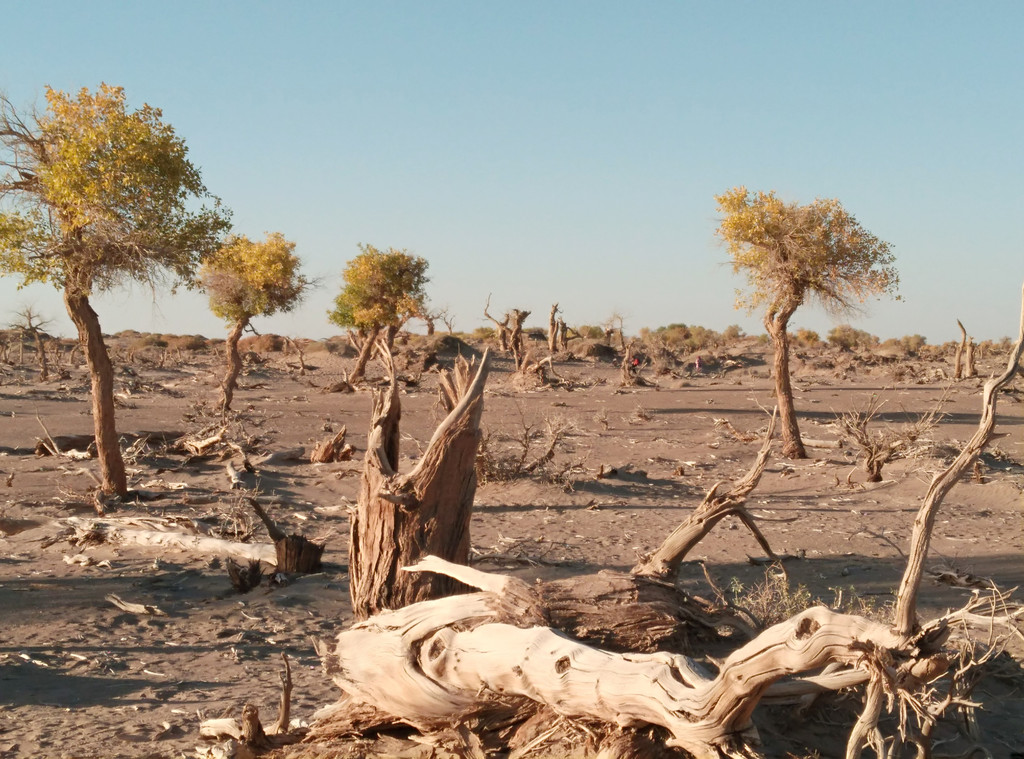 干涸的沙漠地面上,枯树林林,高低粗细不一,灼热的沙尘上遍布残缺然而却是不朽的躯干和树枝。再定睛细看,即便看似已枯死多年的树桩,许多竟然又生长出颇具生机的树叶。 这就是怪树林中的不死的胡杨! 所以谓之不死,是因为长久以来自然的人为的因素导致这里广袤的胡杨逐渐枯死,然而这胡杨却以它们的习性,它们的毅力始终坚守在这莽莽的戈壁滩上。古诗有野火烧不尽,春风吹又生的警句,我想用在这里是再恰当不过了。当然,其中最警醒的应该还是人类应如何保护自然,与自然和谐相处。 有此感悟,不由地对这片树林生出深深的敬意!