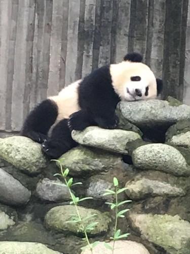 大熊猫睡觉的样子千姿百态,有的睡在楼梯一样的大木头床