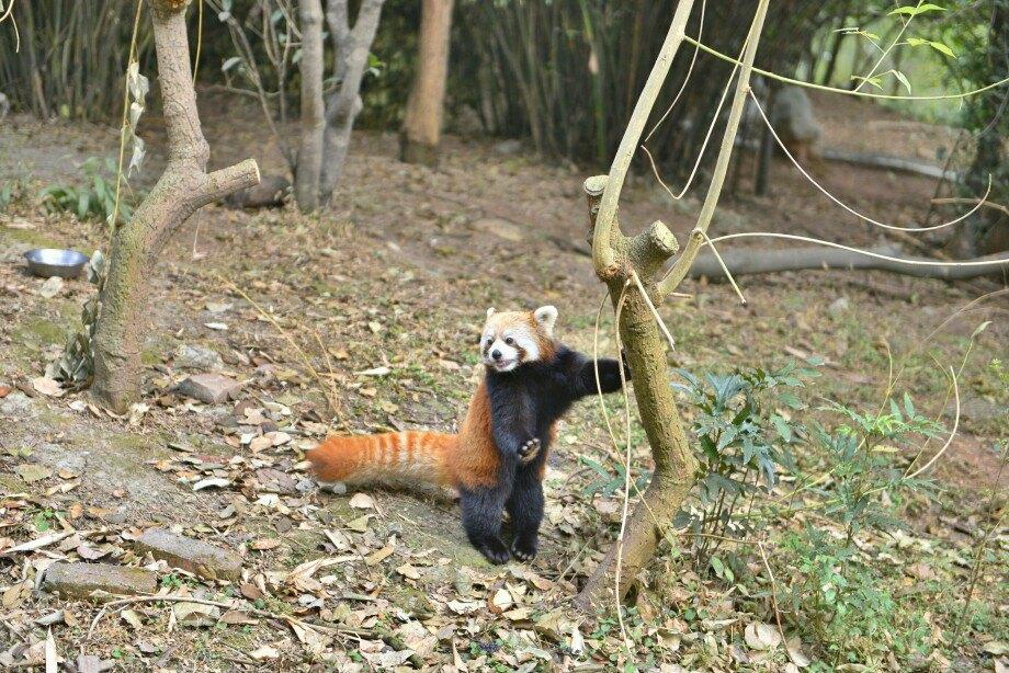 可爱的小熊猫,约不约