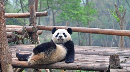 中国-成都-大熊猫基地2