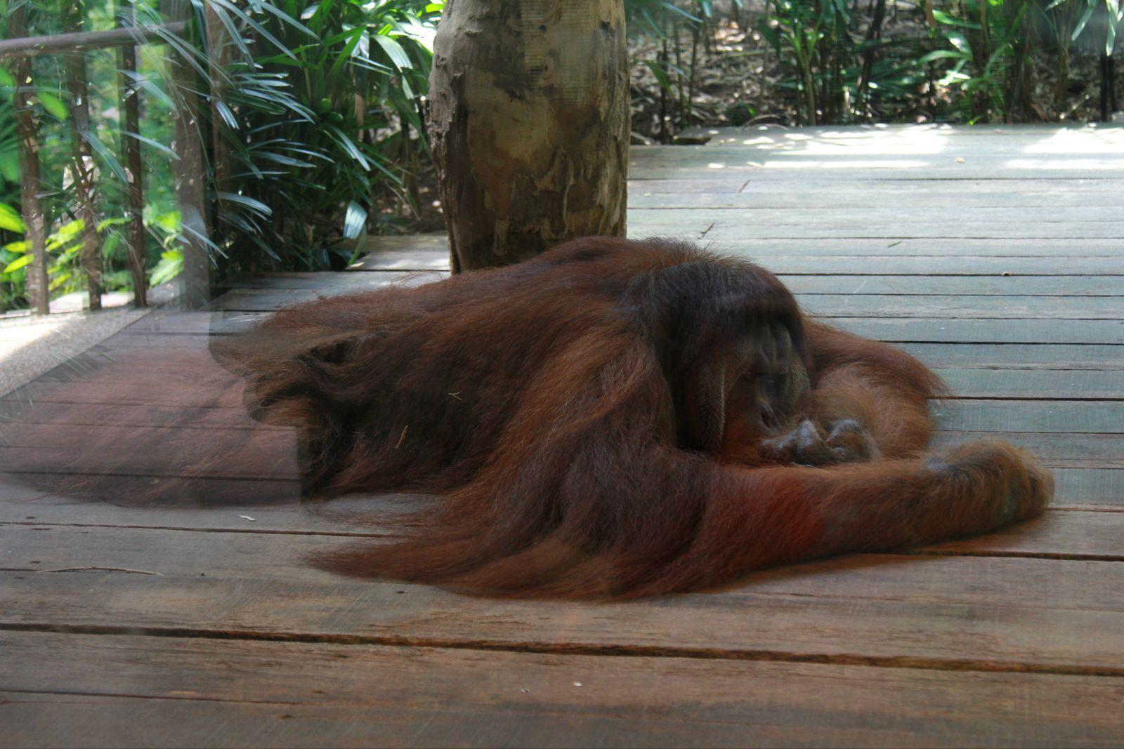 室外区是高高的大树,人类在树下仰着脸看红毛猩猩们在头上演杂技.