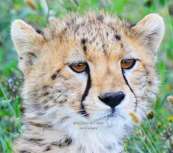 超级可爱的猎豹宝宝,就象一个宠物娃娃,举手投足和我家qq真的很神似呢