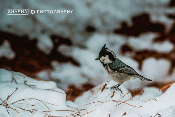 叽叽喳喳的在雪地中留下可爱的足迹