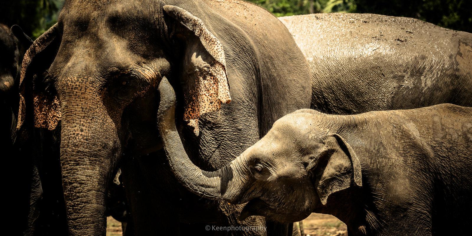 品纳维拉大象孤儿院  Pinnawela Elephant Orphanage   -3