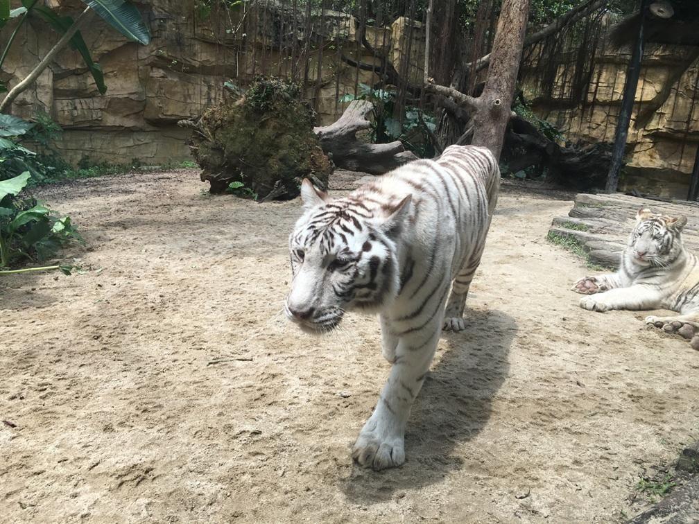 在去长隆之前,推荐的朋友都说不错,我也很纳闷,一个动物园再怎么好不就那样么,全球各地的长颈鹿都长的一个样。但朋友们的极力推荐,让我决定去广州感受一下不一样的野生动物园。 我觉得长隆野生动物园最大的特点在于体验,他把游客的体验融入到了原本呆板的参观浏览中,与各类动物幼仔的近距离观察给了游客更新奇的感受。半敞开式的乘车游览及允许游客自驾游览,还有近距离喂食各种动物,都比以前在看笼子里的动物更有趣。讲解员聊天式的讲解更生动有趣。园区的环境也是相当的好,完全不像一般传统动物园的那种扑面而来的大自然的味道。 总而言