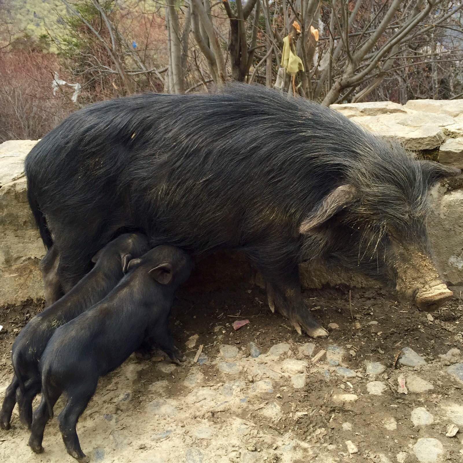 猪吃饭的照片 高清