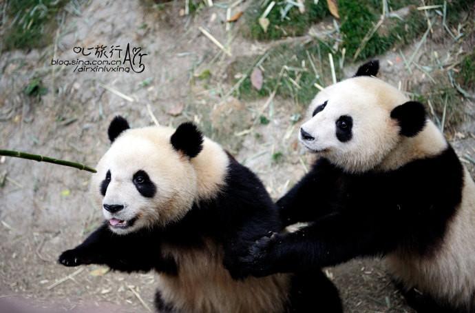 这对双胞胎因为年龄小,正是可爱的时候,它们动作灵活,活泼好动,而且