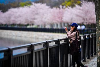 浪漫樱花梦-盘点日本5大最佳赏樱去处 - 大阪游