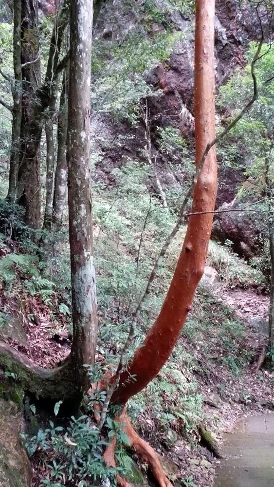 浙江独有的尖萼紫茎树