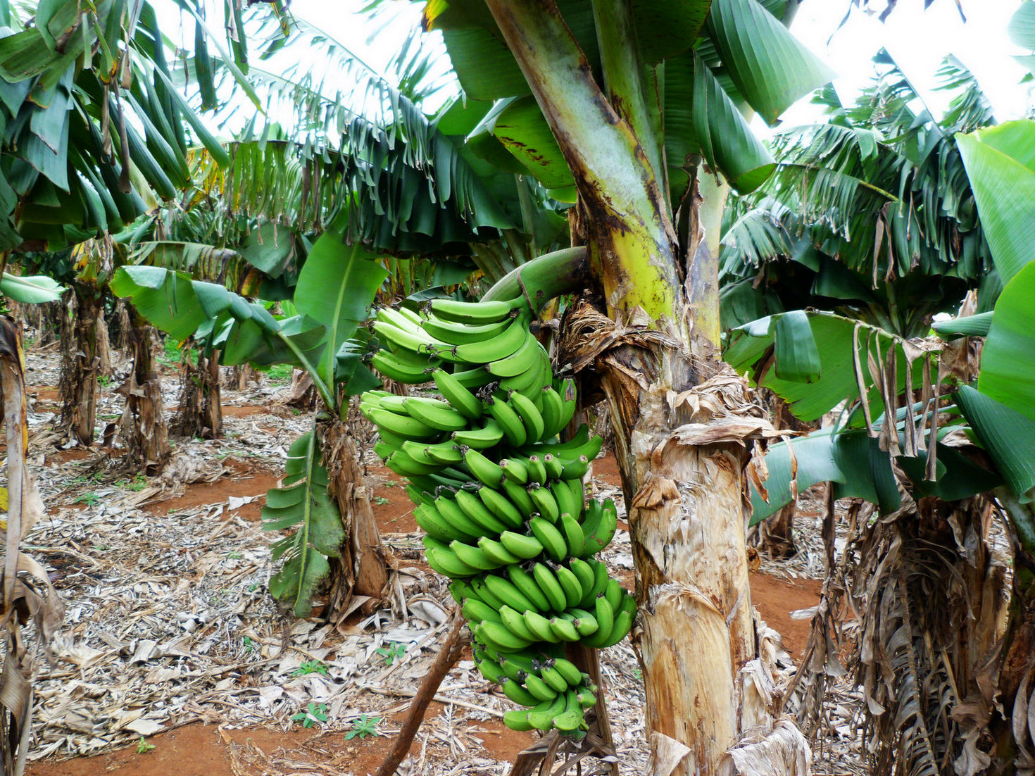 岛上尽是香蕉树,香蕉非常便宜!