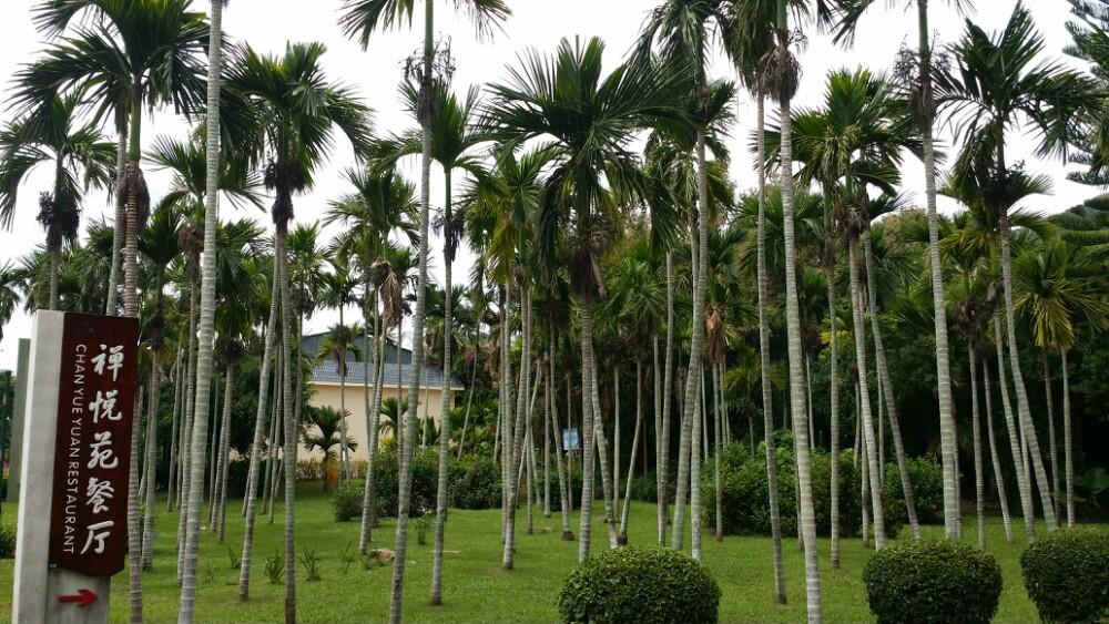 看到了椰子树,槟榔树
