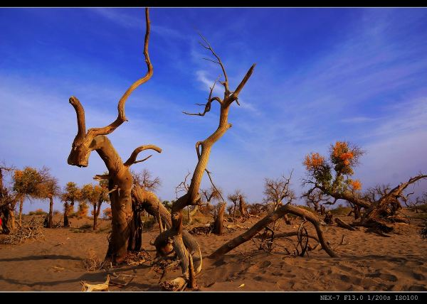 撇开悲壮的传说来正视现实,怪树林实际上是大片胡杨树缺水枯死而形成