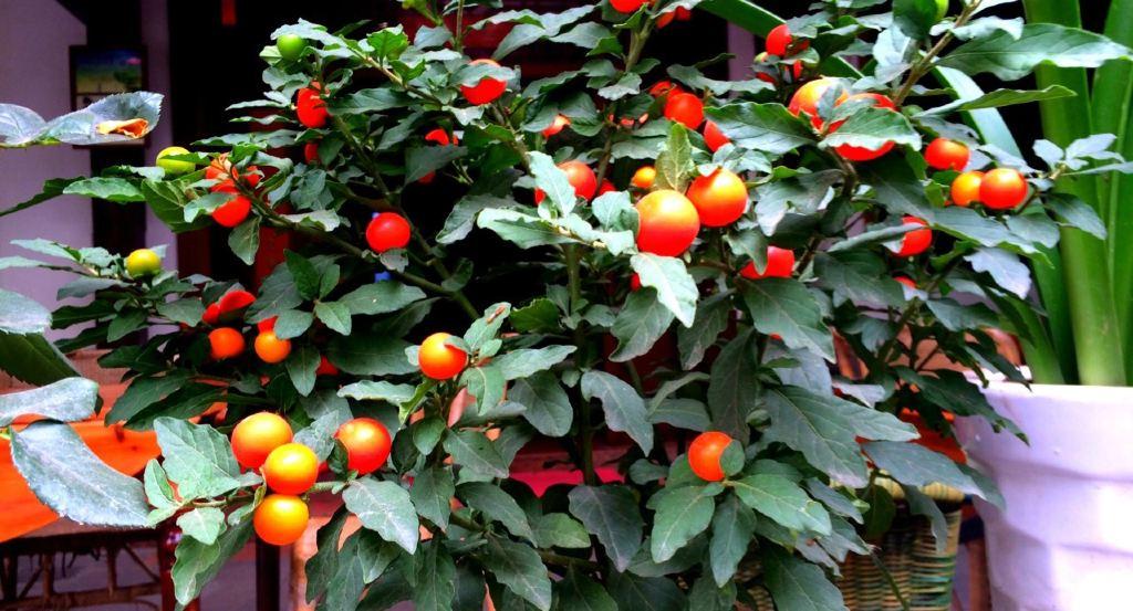 石榴花也好了,个个花苞就象娇艳的小辣椒,娇小可爱.