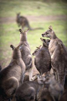 波诺朗野生动物园 (2)-袋鼠-塔斯马尼亚州-塔斯玛尼亚州旅游局