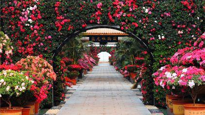 盘龙大观园杜鹃花 (2)