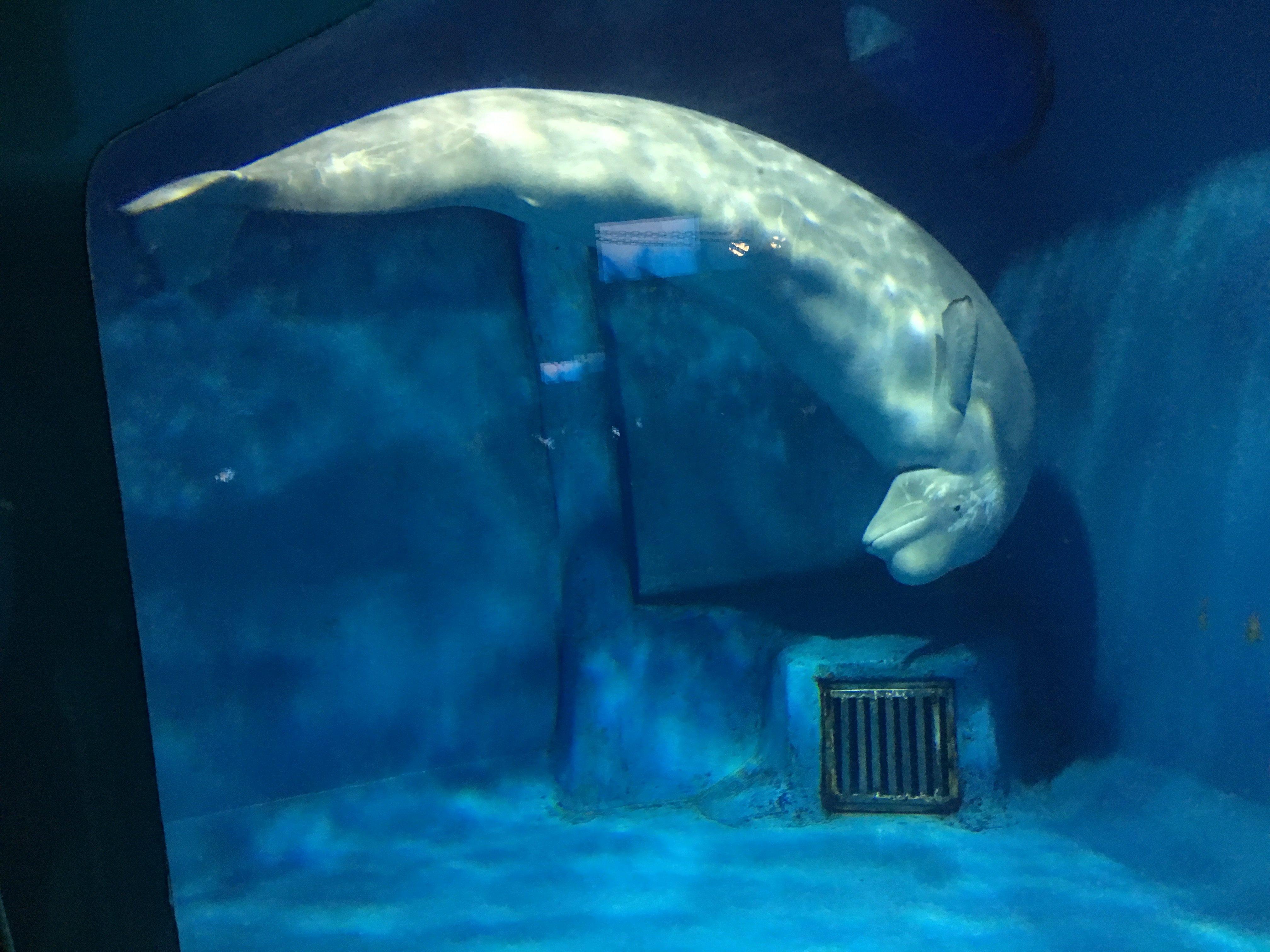 鲸鱼的资料300字_白鲸