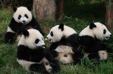 成都大熊猫繁育研究基地-嬉戏-成都大熊猫繁育研究基地-成都-用户3256719